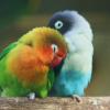 Panduan Beternak Lovebird Yang Benar Untuk Pemula – 7saudara.com