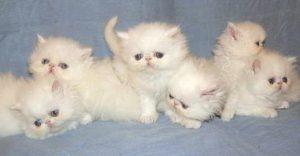anak-kucing-persia