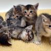Panduan Cara Merawat Anak Kucing Persia Umur 0-3 Bulan Versi 7saudara.com