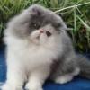 Inilah Makanan Anak Kucing Persia Yang Baru Lahir Yang Baik Untuk Pertumbuhannya Versi 7saudara.com