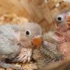Inilah Panduan Cara Merawat Anak Lovebird Usia 15 – 30 hari Yang Benar Versi 7saudara.com