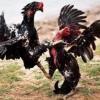 Inilah Alasan Tendangan Ayam Bangkok Tidak Bertenaga Saat Bertarung – 7saudara.com