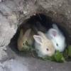 Inilah Ciri-ciri Kelinci yang Mau Melahirkan | 7saudara.com