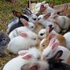 Panduan Budidaya Kelinci yang Murah dan Sukses untuk Pemula